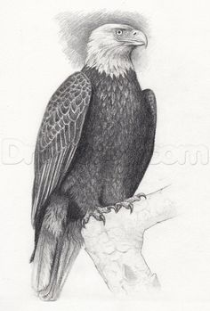 how to draw a eagle body