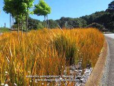 Libertia peregrinans - Orange Libertia is a grass-like plant that has orange foliage long and is evergreen.