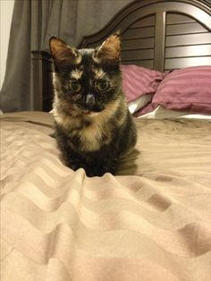 Tortoise shell cat, beauty. #tortoiseshell #cat