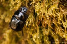Violet Ground Beetle. Dartmoor, England