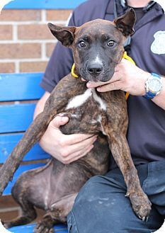 Southgate, MI - Pit Bull Terrier Mix. Meet Intake