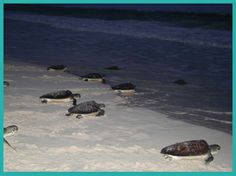 Turtle Release activity - amazing experience to watch newly born turtles make their way to sea Luxury Apartments, Mexico, Activities, Turtles, Amazing, Water, Outdoor, Sea, Tortoises