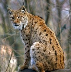 Eurasian Lynx, Lynx Lynx, Canada Lynx, Siberian Forest, Bavarian Forest, Rare Cat Breeds, Wild Kratts, Central And Eastern Europe, Save The Elephants