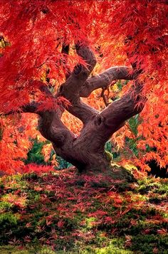 Dragon tree Japanese maple) at the Portland Japanese Garden in Oregon. ~ Ray & I have visited the Portland Rose Garden, but haven't seen the Japanese one yet. All Nature, Amazing Nature, Nature Tree, Nature Pics, Landscape Photography, Nature Photography, Peter Lik Photography, Dragon Tree, Red Dragon