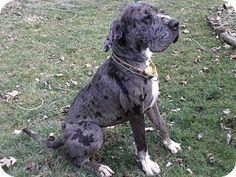 Baden, PA - Great Dane. Meet PAndora, a dog for adoption. http://www.adoptapet.com/pet/14895921-baden-pennsylvania-great-dane