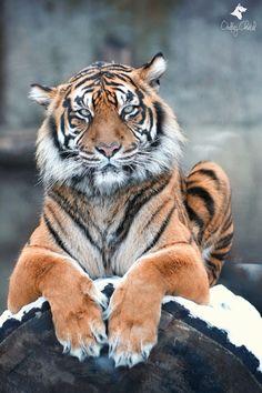 Sumatran tiger - Who whom?                                                                                                                                                                                 More