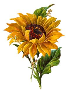 Stunningly pretty digital stock sunflower clip art perfect and ready for crafting projects is part of Sunflower artwork - Sunflower Drawing, Watercolor Sunflower, Sunflower Art, Watercolor Flowers, Watercolor Art, Sunflower Clipart, Free Illustration, Sunflower Illustration, Art Floral