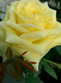 The bloom and fragrance of the Yellow Rose