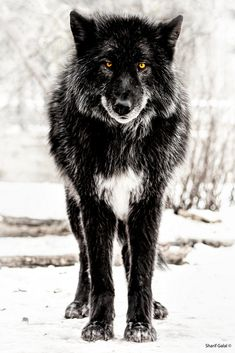 Superb Nature - beautiful-wildlife: Black Wolf by Sharif Galal Beautiful Creatures, Animals Beautiful, Cute Animals, Wild Animals, Baby Animals, Wolf Spirit, Spirit Animal, Wolf Pictures, Animal Pictures