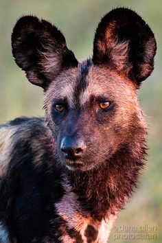"☀the Lycaon pictus or ""painted wolf"", the scientific name of the African Wild Dog"
