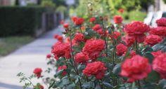 Trandafirii sunt, probabil, cele mai iubite flori in toata lumea. Ne incanta…