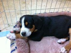 Bentley - new Greater Swiss pup!