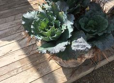Fall Canvas, Cabbage, Vegetables, Veggies, Vegetable Recipes, Cabbages, Collard Greens