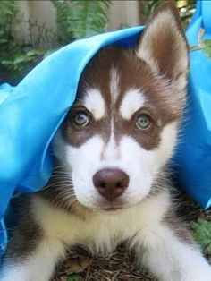 Wonderful All About The Siberian Husky Ideas. Prodigious All About The Siberian Husky Ideas. Siberian Husky Funny, Siberian Huskies, I Love Dogs, Cute Dogs, Alaskan Husky, Most Beautiful Dogs, Cute Dog Pictures, Snow Dogs, Schaefer
