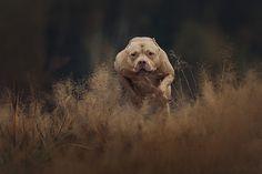 Pit bull terrier power - null