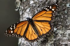 Una mariposa monarca posada sobre un árbol. (Foto: AFP)