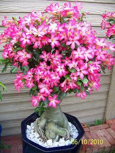 Desert rose-Adenium obesum  7 years old plant.