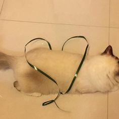 #こんにちは#挨拶#愛猫#猫#子猫#ラグドール#家族#ペット#可愛い#らぶ#青目#モフモフ#ひも#遊ぶ#偶然#ハートの形 ひもで遊んで、偶然にハートの形が見えた🐱🐾❤️❤️❤️ #ragdoll#cat#kitten#family#pet#love#cute#kawaii#playful#heart#shape#string