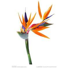 Strelitzia reginae / Bird-of-Paradise Most Beautiful Birds, Beautiful Flowers, Flower Logo, Flower Art, Paradise Pictures, Birds Of Paradise Flower, Cute Canvas Paintings, Plant Drawing, Flower Backgrounds