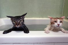 お風呂に入る猫たちの表情がたまらない【画像】