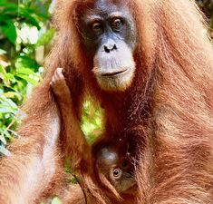 Orang Utan, Animals, Pandas, Baby Cubs, Indonesia, National Forest, Travel Destinations, Animales, Animaux
