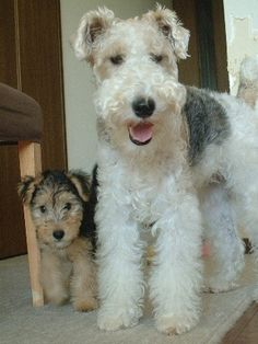 fox terrier and apprentice lakeland. Both beautiful dogs.