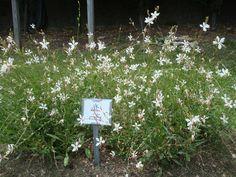 Gaura Sparkle White AAS 2014 Winner displayed at Oglebay Gardens in Wheeling, West Virginia.
