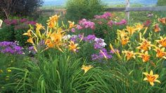The complimentary colors of Volcano phlox and mixed daylilies work well together.