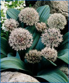 "Allium karativiense, 8"" tall w/ 5"" pinkish-white balls have been blooming in my garden every Spring since I planted them 10 years ago - & I don't even feed them! (Scheepers Beauty from Bulbs Catalog)"