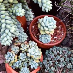 Stonecrop succulents/ sedums are hardy plants that are perfect for your outdoor garden. Here's all you need to know before buying these succulents. How To Water Succulents, Succulent Soil, Propagating Succulents, Planting Succulents, Planting Flowers, Watering Succulents, Hardy Plants, Air Plants, Indoor Plants