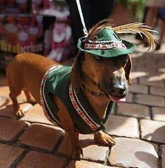 Auch die Vierbeiner putzen sicher für das Oktoberfest heraus! Süß! #dachshund