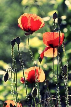 Poppies by Rontarija