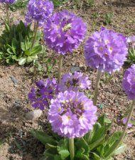 Primula denticulata - palloesikko