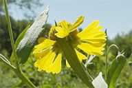 HELENIUM AUTUMNALE | Sneezeweed Native Wildflower Seeds