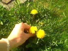 Image result for Daisy and Dandelion