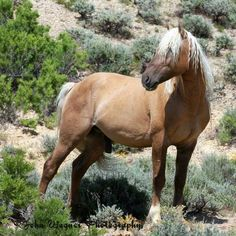 Corona,  Sand Wash Basin's stallion.  Photo by John Wagner.