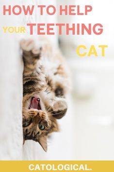 Teething Can Be A Painful And Difficult Time For Your Kitten Use These Helpful Tips To Help Your Kitten Get Through It In 2020 Cat Parenting Kitten Care Kitten Health
