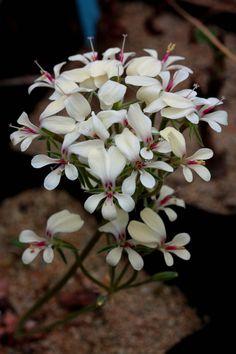 Pelargonium grenvilleae