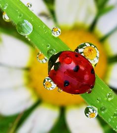 lady bug and dew drops by tugba kiper. Love the droplets how they make the flower look so small