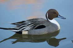 Northern Pintail- spotted in Golden Gate Park