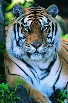 Wery wery thanks,Dear Friend /vKkgoCfLSYYou can find Big cats and more on our website.Wery wery thanks,Dear Friend /vKkgoCfLSY Tiger Pictures, Animal Pictures, Nature Animals, Animals And Pets, Nature Nature, Wild Animals, Beautiful Cats, Animals Beautiful, Tiger Art