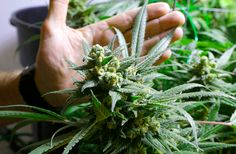 The Latest Warning About Pot Is One You've Never Heard Before... Until Now