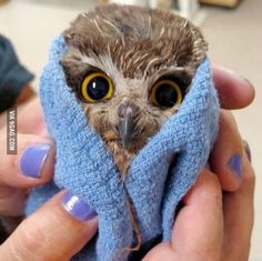 Baby owl after a bath.