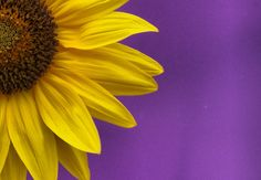 """Photograph of the Day """"Sunflower"""" by Seamus66."""