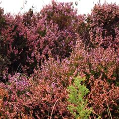 I was assisting on a top secret photo shoot today this is the wild heather at the top of the island of Cumbrae  I just love the depth of the tones & colours  More to come on said project very soon! #photoshoot #styling #heather #wildheather #nature #scottishheather #luxurybrand #scottishbrand #topsecret #scotland #cumbrae #island #islandlife #scottishbloggers #stylist #styledshoot #weddingtasker #weddingplanner #weddingblog #weddingbloggers #devinebride #inspired #inspiration