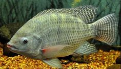 Sulfated Polysaccharides in Diets for Nile tilapia (Oreochromis niloticus) in the Initial Growth Phase