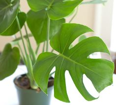 Tanaman Philodendron Monstera (Split Leaf Philodendron)