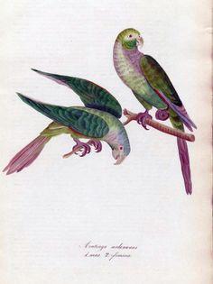 Aratinga melanunus. Parakeets. Old bird print