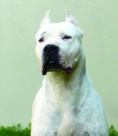 Massimo Inzoli of Italy shares 10 things to know about judging the Dogo Argentino. Modern Molosser  | www.modernmolosser.com