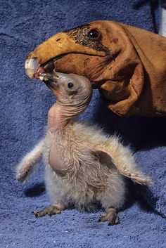 California condor chick by Official San Diego Zoo, via Flickr